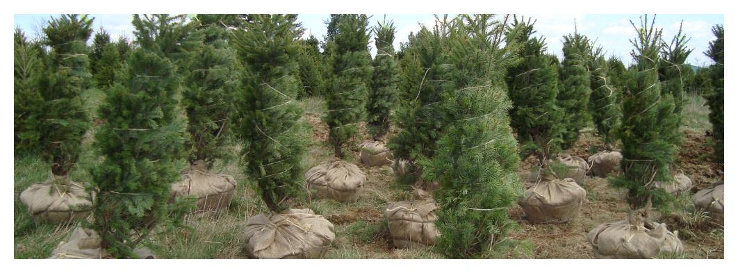 Evergreen Christmas.Live Evergreen Prices Blue Ridge Christmas Tree Farm
